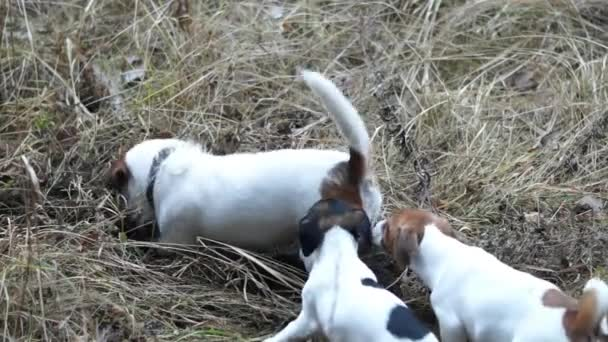 Jack Russell Terrier puppies. Puppy playing. Puppies and adult dog