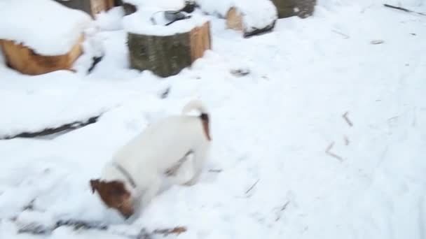 Jack Russell terrier is digging a hole. Dog digs. Beautiful dog. Funny pet