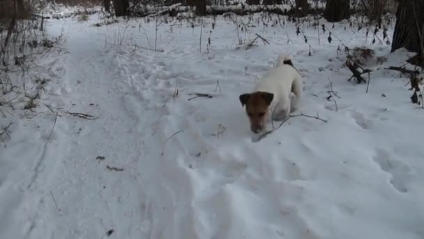 Dog searching. Jack Russell terrier hunts. Dog playing. Funny pet. Dog hunting