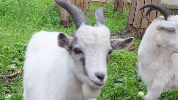 bílé směšné dítě se pasou na farmě, na zelené trávě