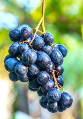 Fresh bunch of purple grapes ripen in the garden. This fruit is rich in vitamin C and minerals that are beneficial for human health