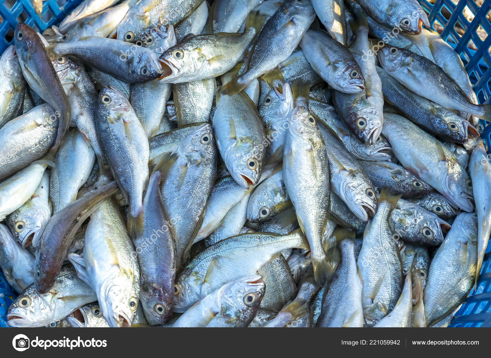 Fresh White Croaker Catching Fish Market Fish Species Live Waters