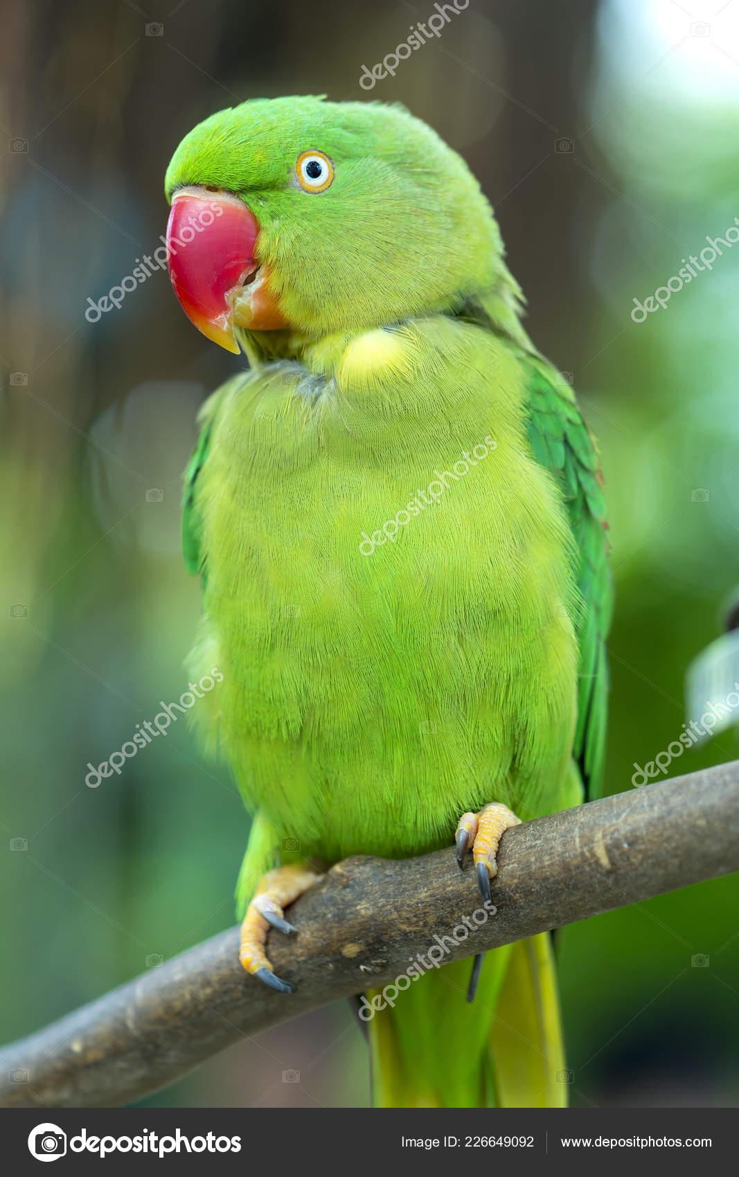 Portrait Green Eclectus Parrot Alexandrine Parakeet Reserve