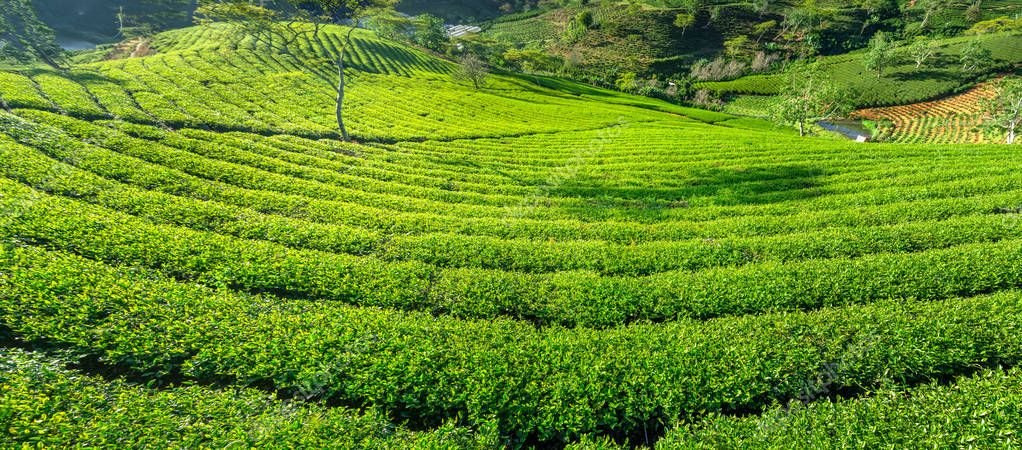 Green tea hill in the highlands in the morning. This tea plantation existed for over a hundred years old and the largest tea supply in the region and exporting