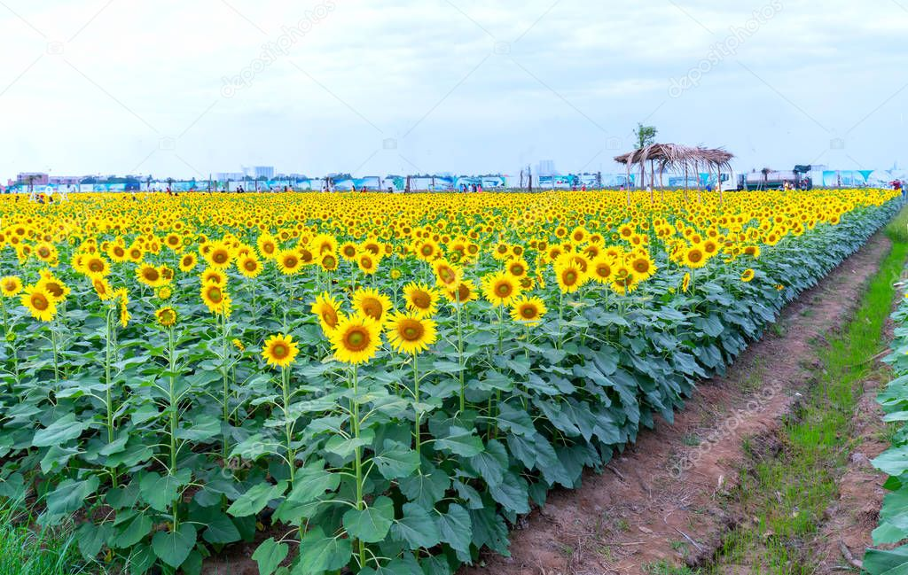 The panoramic view of the sunflower fields blooms in the ecotourism garden in the spring morning to welcome the new year