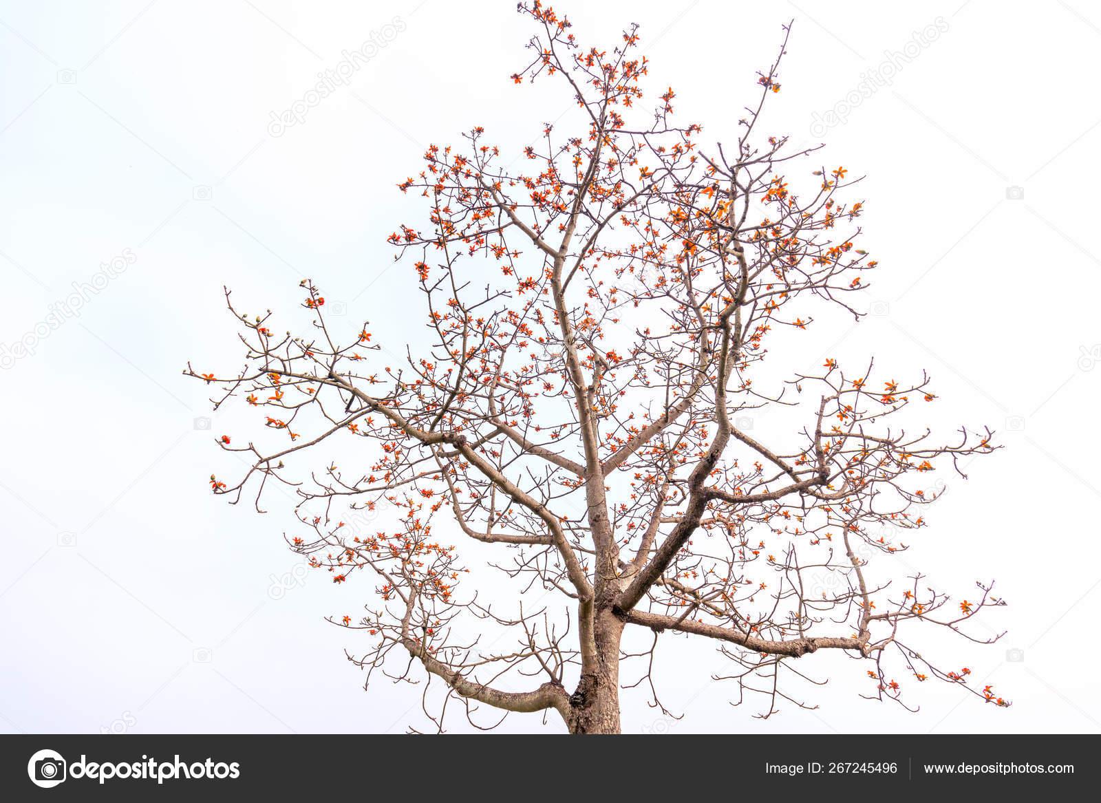 Medicinal Uses Of Bombax Ceiba Tree
