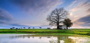 Bombax ceiba tree ancient and grazing buffalo silhouette on the embankment into the sunset reflected on the water beautifully fanciful landscape for rural Vietnam