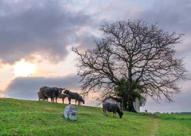 Buffalo is relaxing, eating grass next to the shrine have multi centuries-old trees in rural Vietnam peaceful