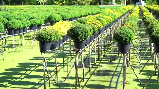 Zahrada nad vodou žlutých sedmikrásek, jsou zasazeny hydroponické a kvetou čeká na sklizeň v květinové vesnici