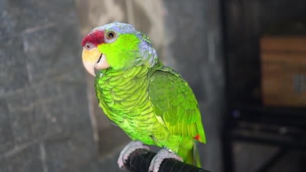 Barevný papoušek odpočívá na plotě. Tento milovaný pták žije v lese a je domestikován pro domácí zvířata