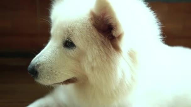 Samoyed kutya portré háziasított kisállat. Ők nagyon barátságos és jó túlzottan kell választani, mint háziállat az otthonában, hogy közel a gyermekek