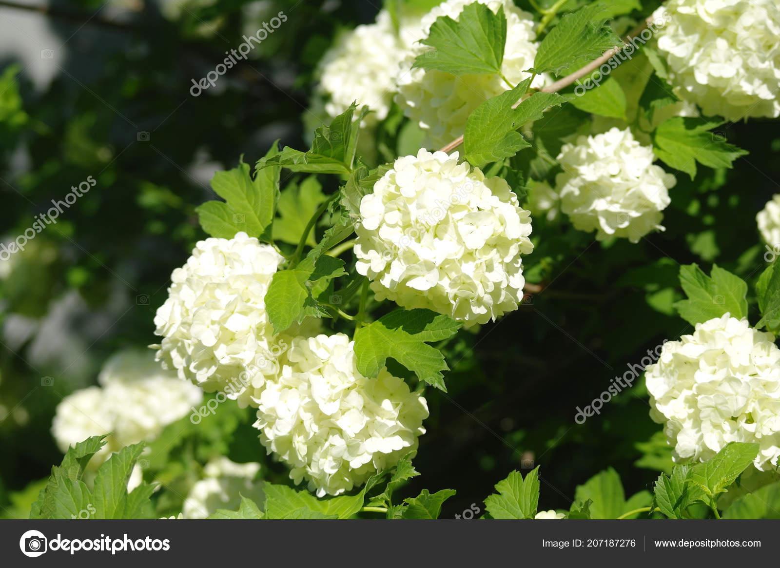 White Scented Flowers Background Stock Photo Ekulik2011 207187276