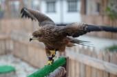 portrait of hunting hawk, brown big bird of prey