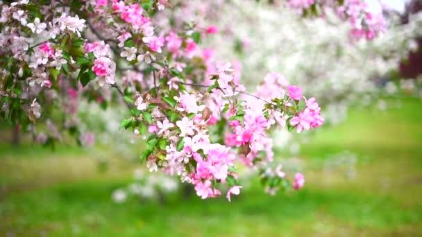 Kvetoucí strom, růžové květiny, jarní zahrada