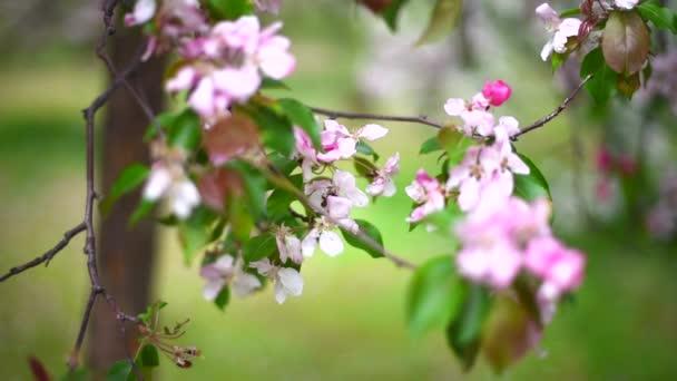 tree blossom, pink flowers, spring garden