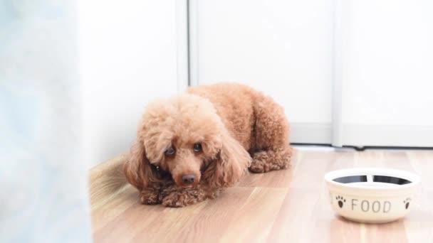 dog poodle afraid and trembling