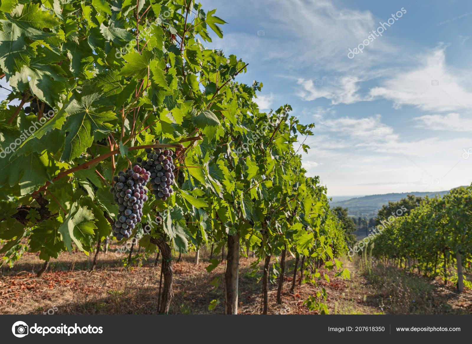 Bunch Grapes Production Italian Wine Vineyard Hills Tuscany