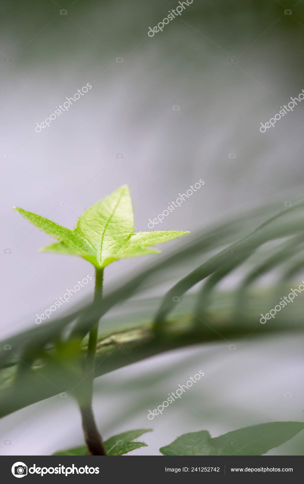 Young Light Green Colored Houseplant Leaf Indoor Tropical
