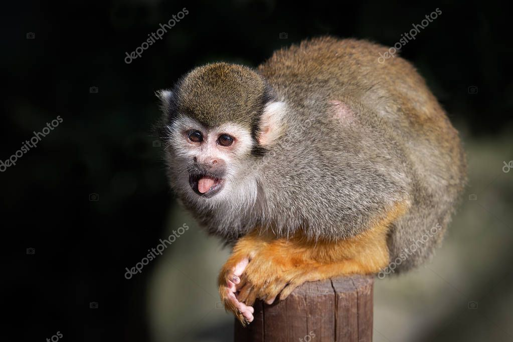 A small squirrel monkey sits on a wooden post staring alert to the the left with its tongue out