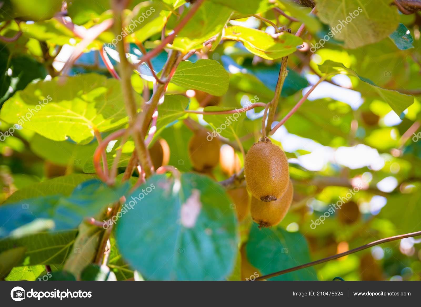 kiwis sur arbre plantation kiwi italie plantation kiwi italie nord