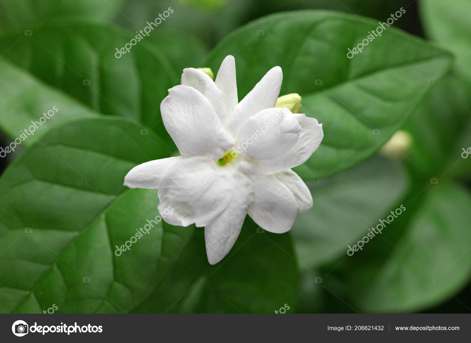 Jasmine Tea Flower Arabian Jasmine Jasminum Sambac Stock Photo