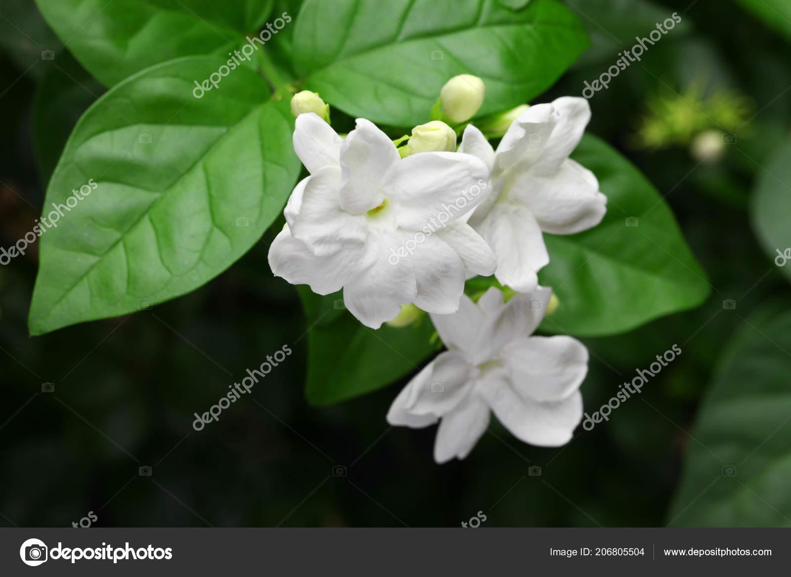 Jasmine tea flower arabian jasmine jasminum sambac stock photo jasmine tea flower arabian jasmine jasminum sambac stock photo izmirmasajfo
