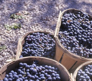 Close up of pile of blue grapes in Saint Emilion ready for pressing ripe bunches of grapes stalks just picked at wine harvest