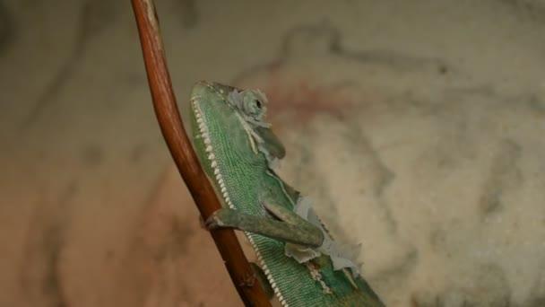 Mladé zelené chameleon mění jeho kůže
