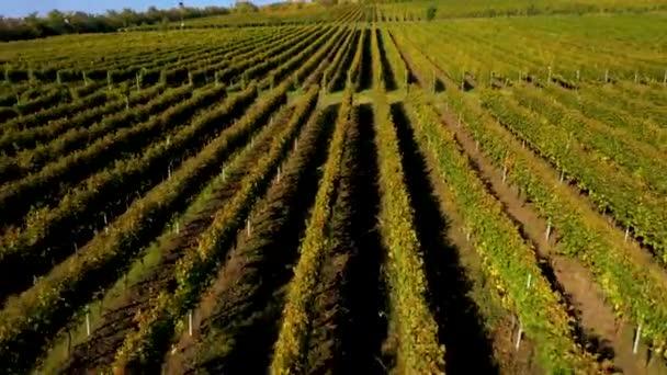 Epic letecké 4k drone film vinice v pozdní odpoledne světla