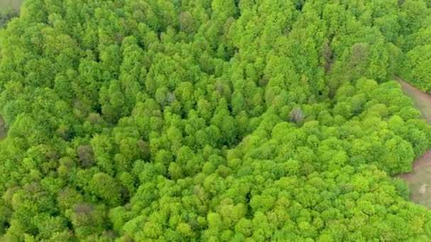 Aerial view of a virgin beech forest in Romania, one of the last primary forests of Europe