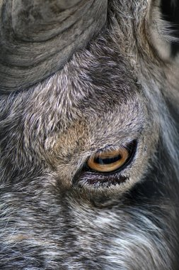 Markhor animal portrait in Moscow zoo