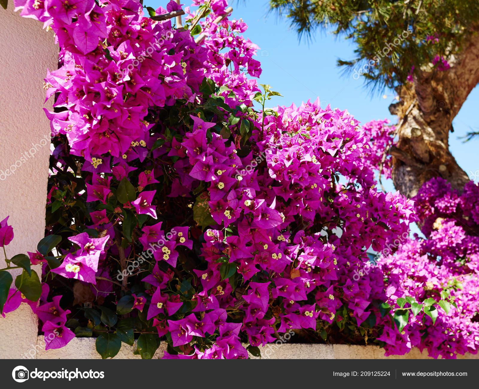 Blooming Bougainvillea Paper Flower Alicante Costa Blanca Spain