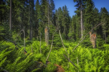Sunny natural forest of beech trees in summer.Forest trees. Bark beetle infested spruce.Natural Forest of Spruce Trees.