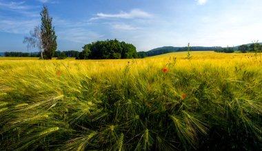 Grain on the field
