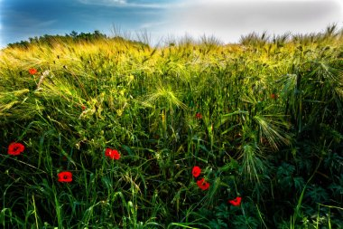 Poppies in the wheat field.Ripening grain in the field.