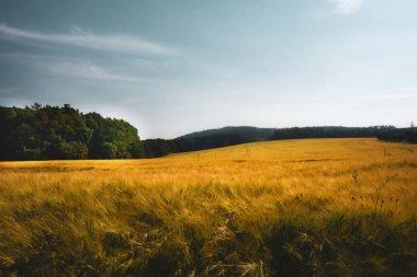 Ripening grain in the field grain on the field