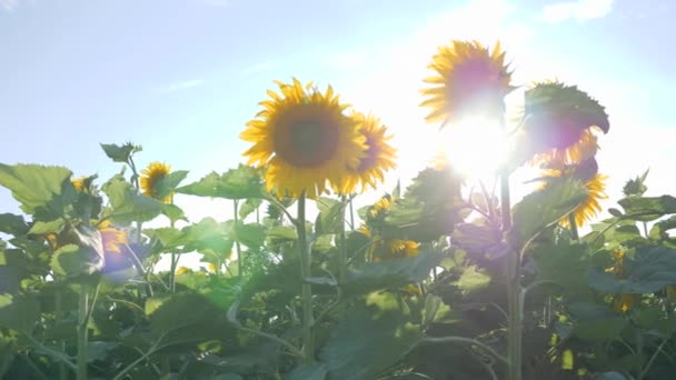 field of blooming sunflowers in backlight, wonderful view of meadow and blue sky, summer in slow motion