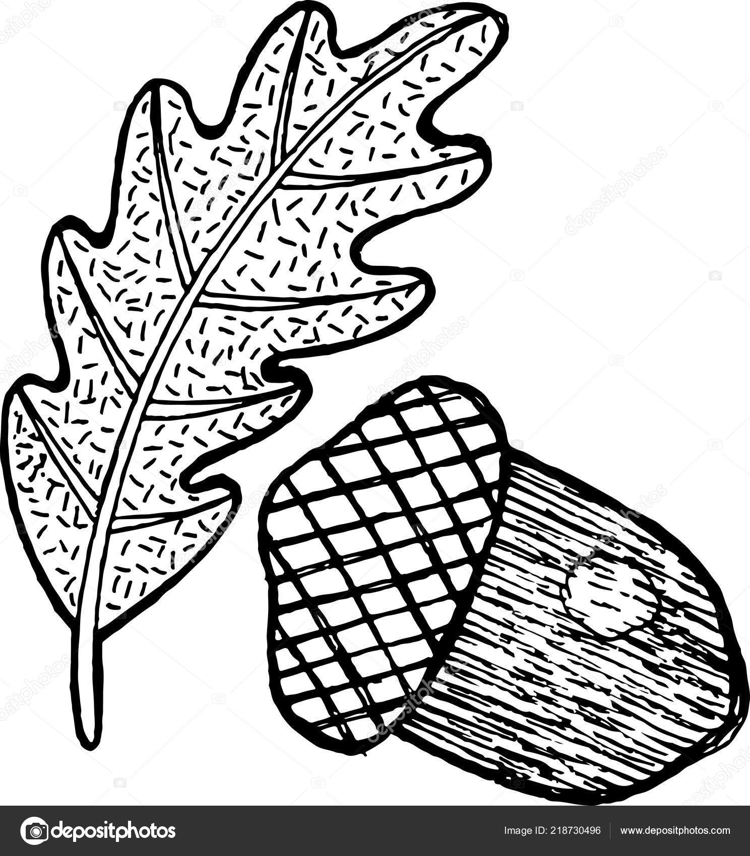 Acorn Coloring Page Adults Ink Graphic Artwork Vector Illustration