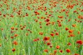 Field of common poppy, seasonal natural scene