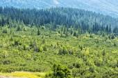 Zakrslé horské borovice a jehličnaté lesy, low Tatras, Slovensko
