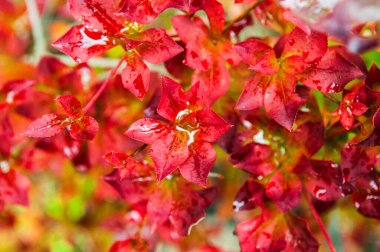 Red autumn foliage  colorful background.