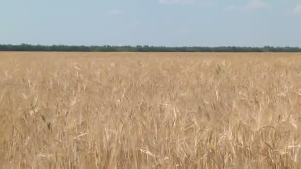 Ripe ears of barley swaying in the wind