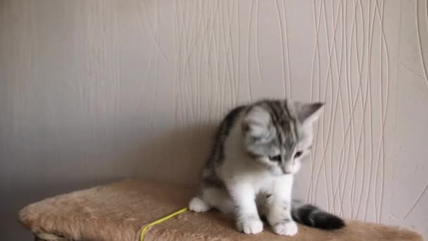Scottish fold cat. Pets. Kitten