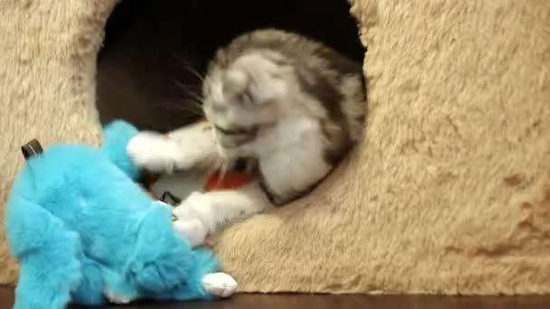 Fold visztula fülü macskák és skót egyenes cica játszani