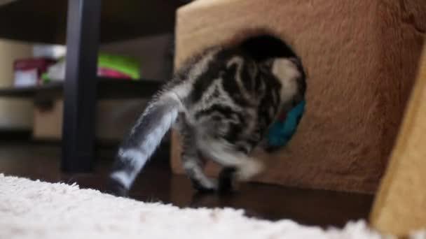 Skotské klapouché kočky. Domácí zvířata. Kotě
