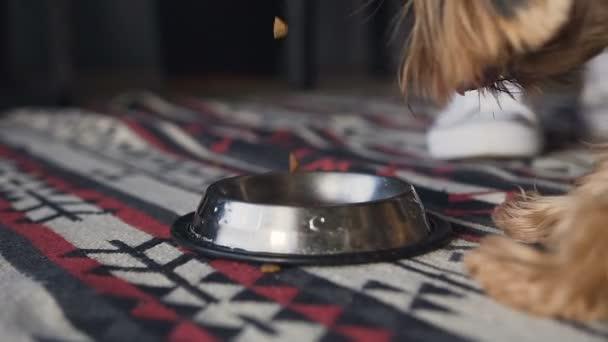Close-up spezialisierte Hundefutter wird in einem silbernen Tablett gegossen. Ein kleiner Hund ist ein Yorkshire-Terrier von seinem Teller Essen.