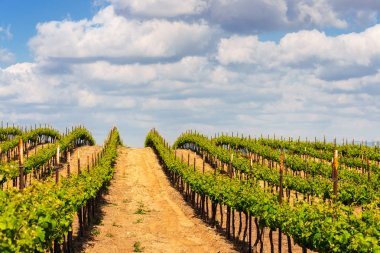 Rows of green vines in a vineyard