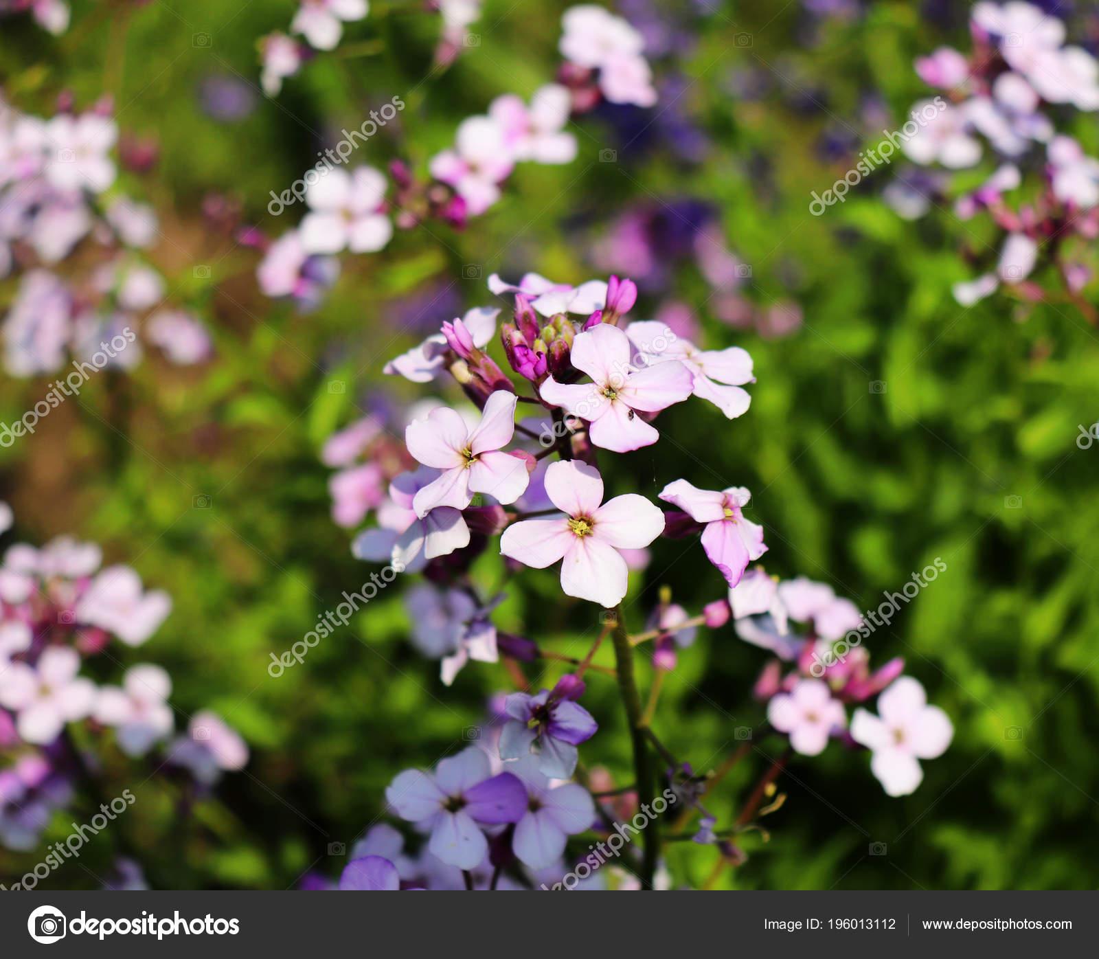 Night violets. Mattiola flower - photo 88