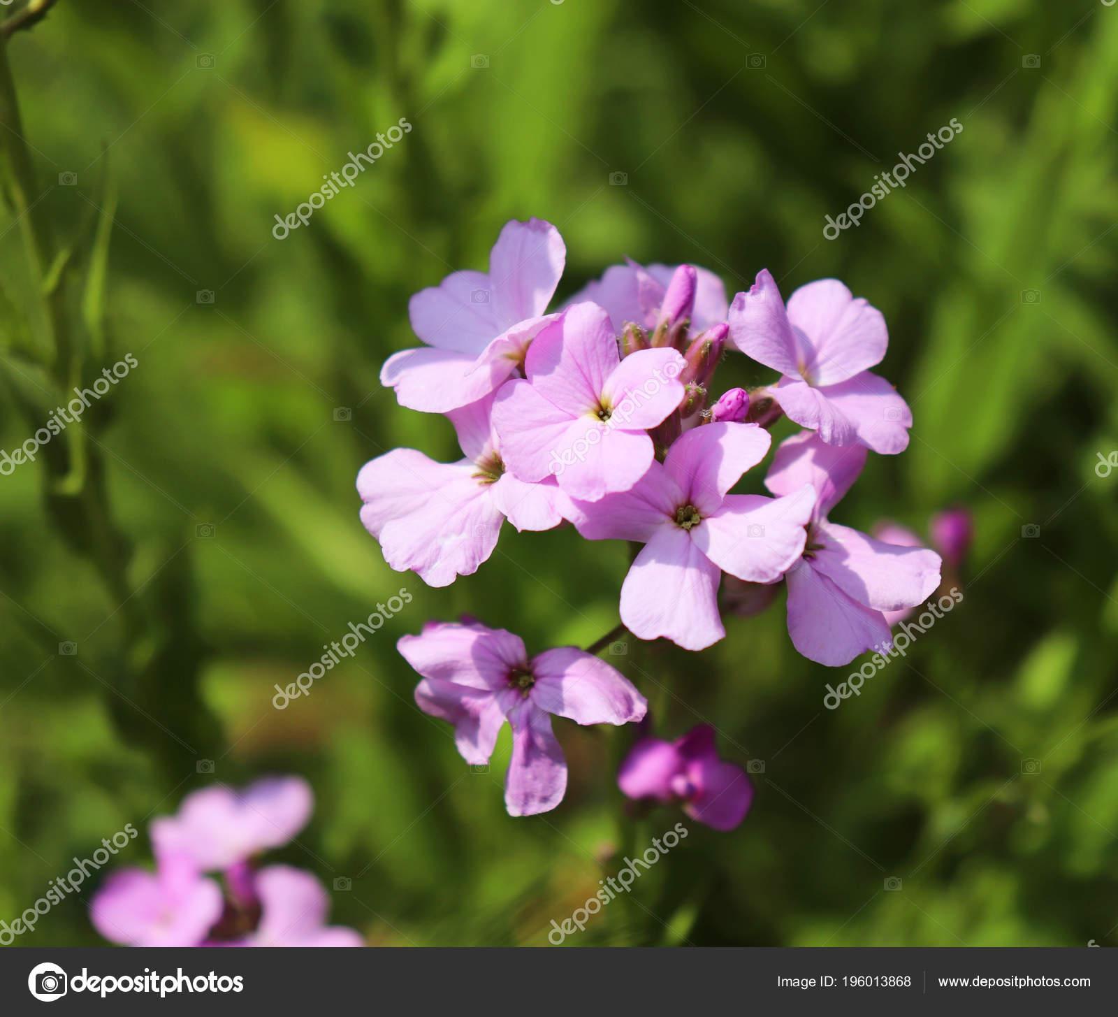 Night violets. Mattiola flower - photo 99