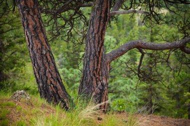 Characteristic bark of the Ponderosa Pine tree